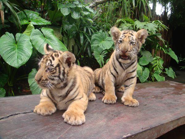 Bocah 5 Tahun Dicakar Anak Harimau di Jatim Park 2 https://malangtoday.net/wp-content/uploads/2017/03/anak-harimau.jpg MALANGTODAY.NET– Seorang bocah berusia limatahun dicakar seekor anak harimau di tempat wisata dankebun binatang, Batu Secret Zoo yang merupakan bagian dariJatim Park 2. Bocah bernama TAP yang menjadi korban keganasan harimau itu adalah rombongan dari SebuahTaman Kanak-kanak (TK) asal... https://malangtoday.net/malang-raya/batu/bocah-5-tahun-dicaka