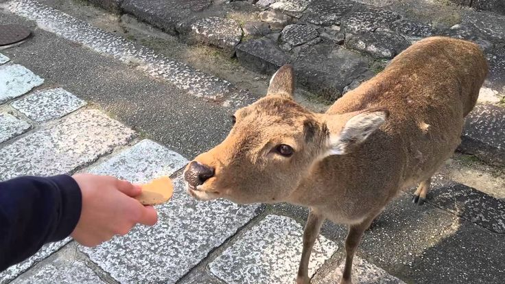 Attacked by Deer in Nara!