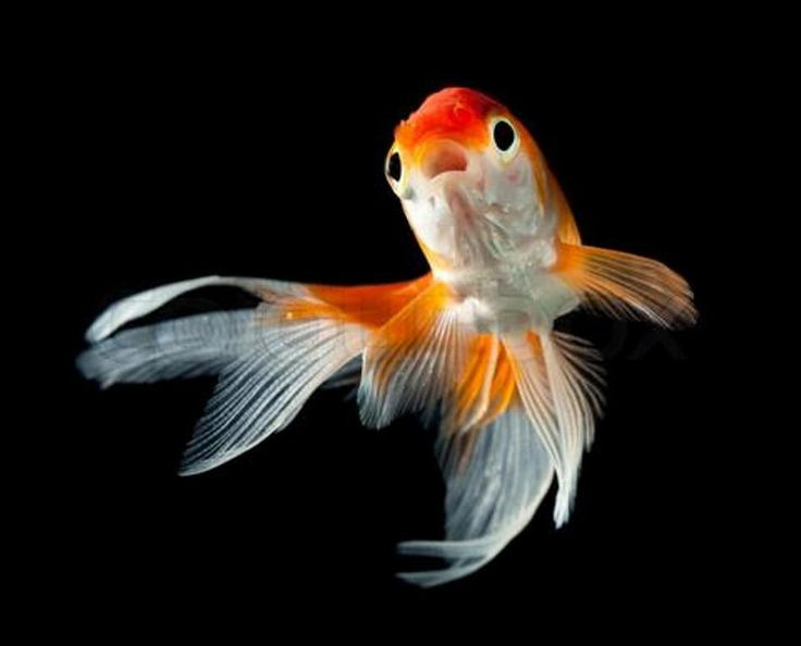 129 best goldfish images on pinterest fish aquariums for Can tropical fish live with goldfish