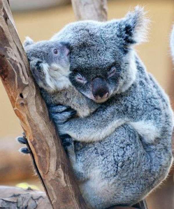 Koala bears<3