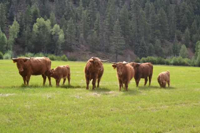 Scottish Highland Cattle For Sale | grassfood.