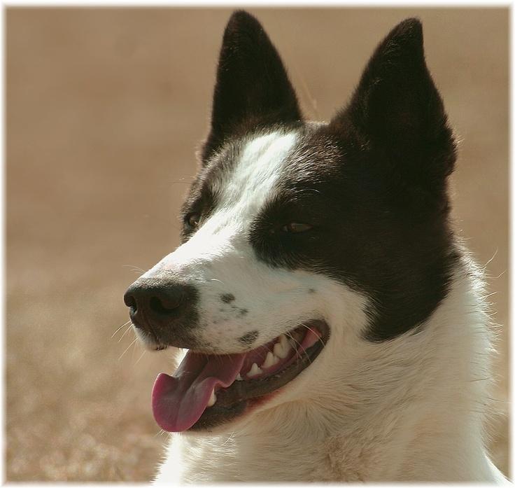 Canaan Dog Adoption