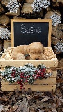 Litter of 9 Labradoodle puppies for sale in MILLMONT, PA. ADN-51315 on PuppyFinder.com Gender: Female. Age: 3 Weeks Old