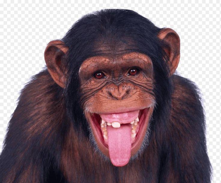 Chimpanzee Png Monkey Png Transparent Image Pngpix 1247 1034 Png Download Free Transparent Background Chimpanzee P Monkeys Funny Animal Antics Pet Monkey