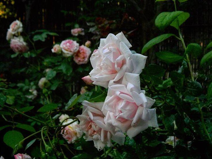Con la dolcezza di 'New Dawn' e di 'Cesar' sullo sfondo, vi auguro una splendida domenica! Buongiorno a tutti! #roses #rose #combinations #mygarden #views #flowerstagram #flowers #may #blooms #sundaytime #sunday #morning