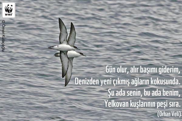 Gün olur alır başımı giderim, yeni çıkmış ağların kokusunda. Şu ada senin bu ada benim, yelkovan kuşlarının peşi sıra... Orhan Veli.