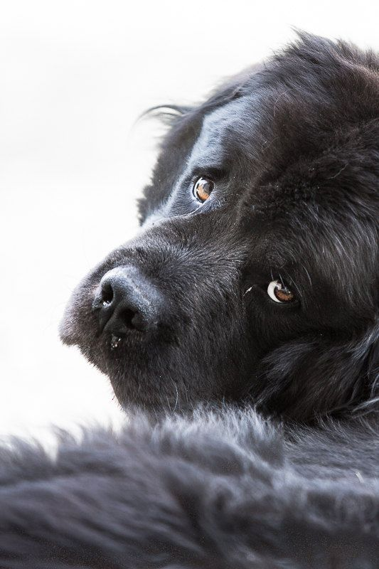 Sad dog photography. Newfoundland dog print. by WildnisPhotography