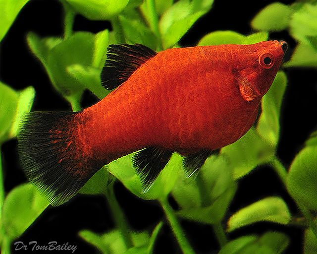 Premium red wag platys pictures top male red wag platy for Platy fish breeding