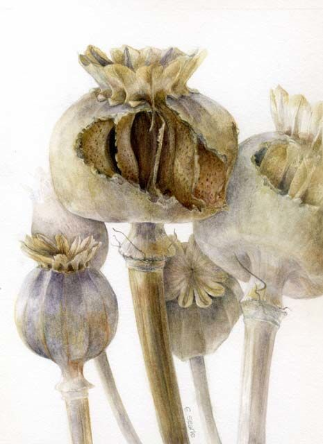 Elaine Searle   http://www.paintbotanical.com