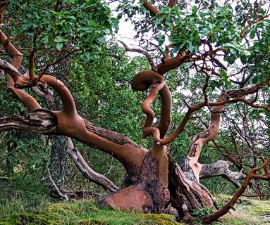 arbutus trees....we are so lucky to have many in our gardens....