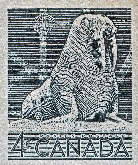 1954 Canada Walrus Stamp Photograph  - 1954 Canada Walrus Stamp Fine Art Print ~ #photography #stamps @wfowen #macro #animals #Canada #Canadian :)