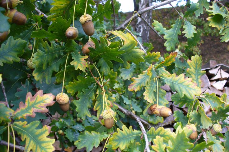 czech nature, acorns :)