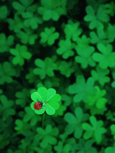 Ladybug on Four Leaf Clover Photographic Print by Bruce Burkhardt at AllPosters.com