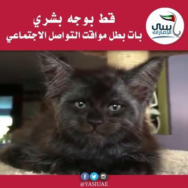فيديو قط بوجه بشري بات بطل مواقع التواصل الاجتماعي انتشر بالمواقع الروسية شريط فيديو ظهر فيه قط من فصيلة مين كون له سحنة شبيهة بوجه الإنسان Cats Animals
