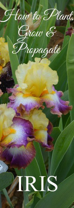 How to Plant, Grow and Propagate Iris - Flower Patch FarmhouseFacebookGoogle+InstagramPinterestTwitterYouTubeEmailFacebookGoogle+InstagramPinterestRSSStumbleUponTwitterYouTube
