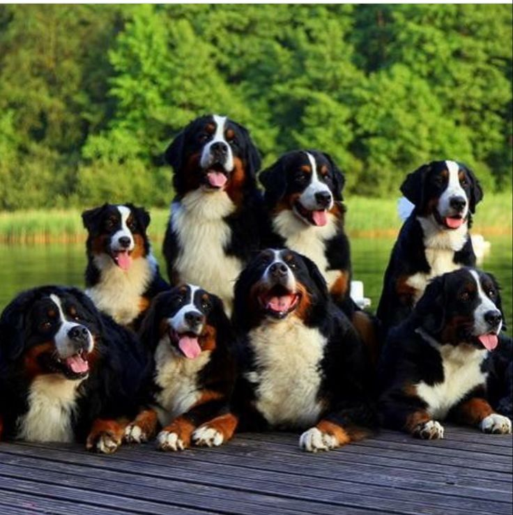 breed ? Bernese mountain dogs ?