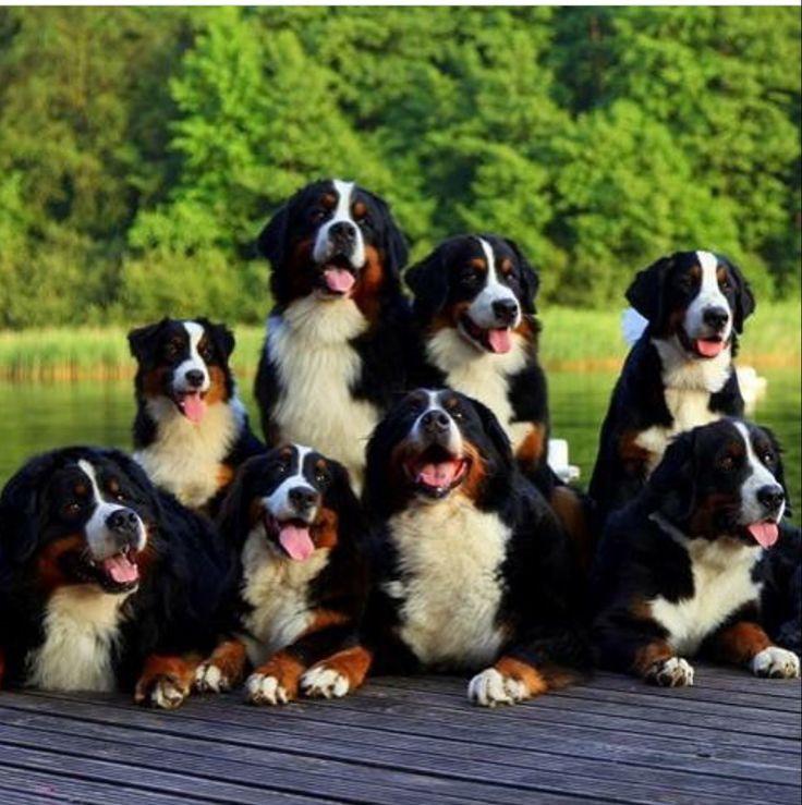 breed ? Bernese mountain dogs ?