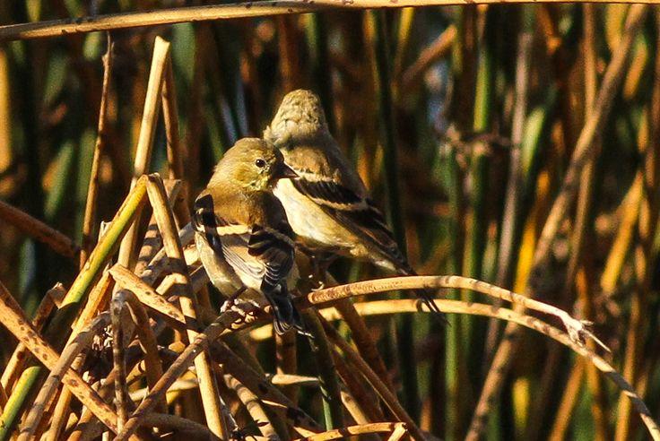 American Goldfinches ©Neal Zaun. Wild Bird Center of Boulder, CO Saturday Morning Bird Walk in Boulder County - September 27, 2014.