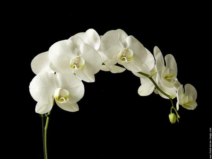 Orchidées blanche ..