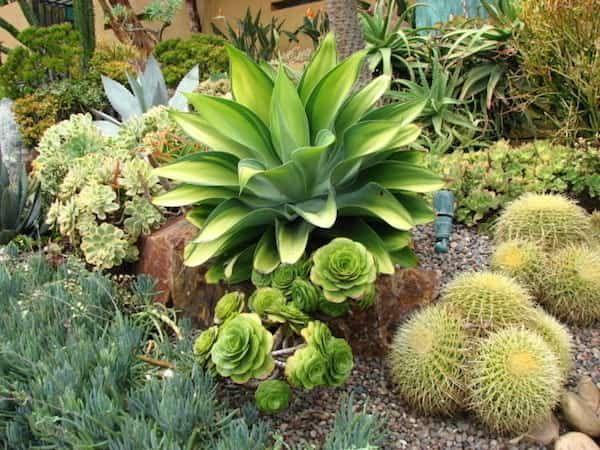 agave pour jardin sec
