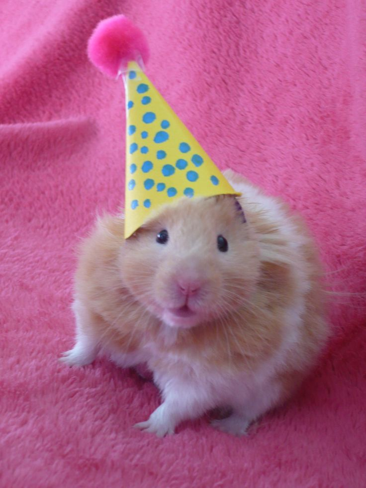 25+ best ideas about Cute Hamsters - 77.5KB