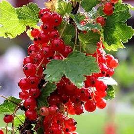 Röda vinbär 'Rosetta'