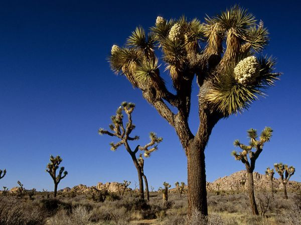 Joshua TreeAlbum Covers, Favorite Places, National Geographic, Trees National, California, National Parks, Joshua Trees Camps, Amazing Places, Deserts