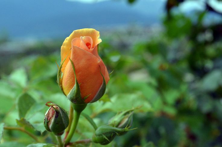 """https://flic.kr/p/Mb9jrB   Rose Bud, Explored, best # 22 on Oct. 12, 2016   I took this shot in the """"Giardino della rosa"""" (Rose's Garden) in Ronzone - Vak di Non - Trento www.giardinodellarosa.it I that garden visitors may find 500+ different species of roses, 2000+ rose bushes and some thousands of other flowers. It  deserved a visit  Many thanks to everyone who will pass by visiting my shots. Comments are appreciated. You are welcome. Sergio  Nikon D5100 © Sergio Presbitero 2016,..."""