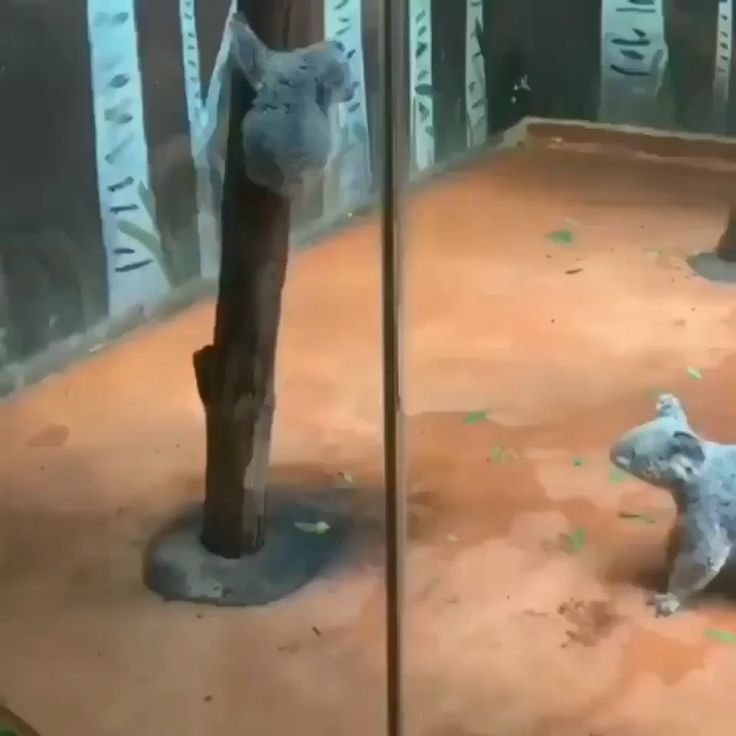 Wenn Hilfe benötigt wird. Koala, der zur Rettung erzieht