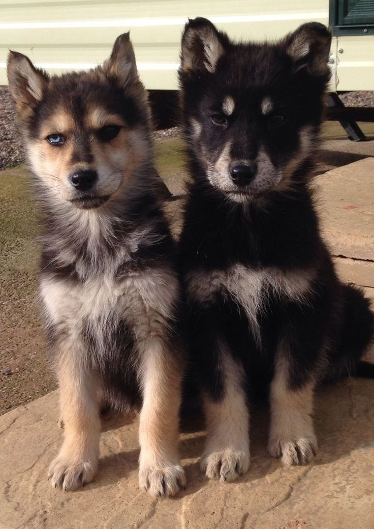 Pin By Angie On Animals Shepherd Mix Puppies Siberian