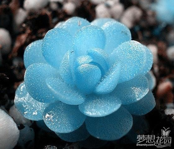 A blue cactus, so beautiful and unusual, looks like glass... I wish to have this in my garden.