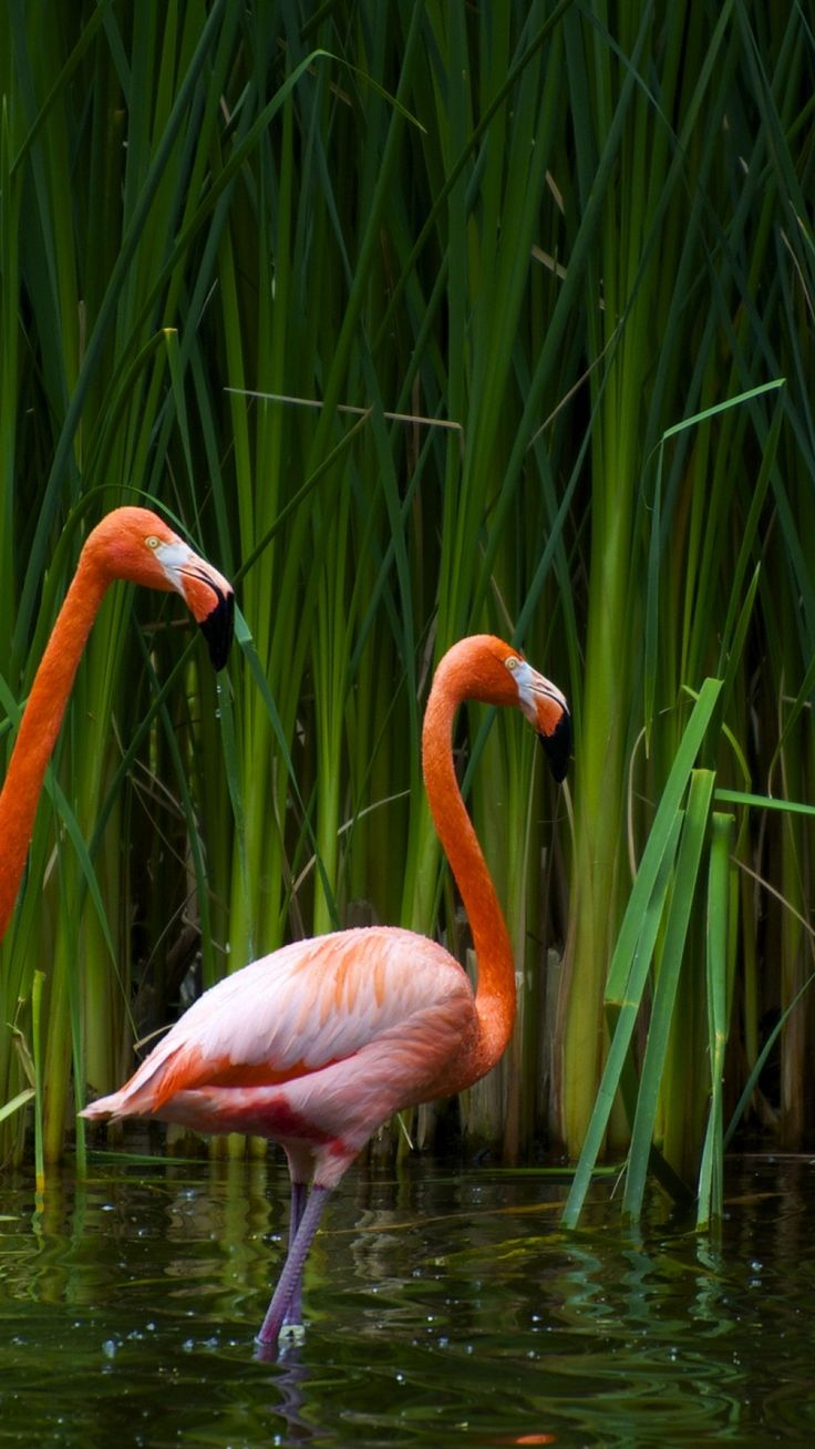 Flamingos, Steam, Marsh, Grass