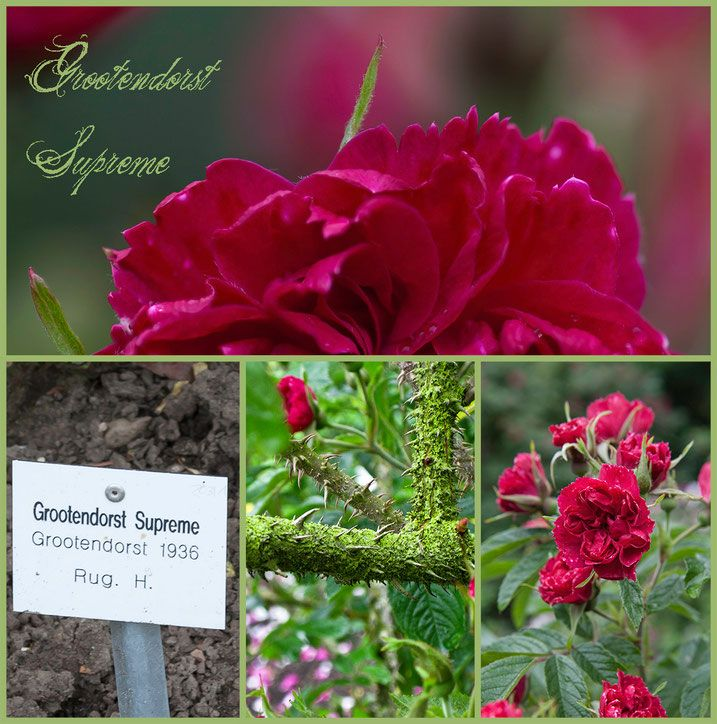 Hexenrosengarten Rosenblog Europarosarium Sangerhausen Rose Grootendorst Supreme