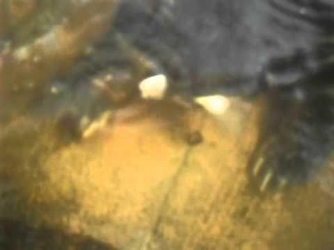 esta tartaruga mordedora - na verdade um tipo de quelonio chamado cagado mordedor -Ja esta com uns 15 anos e uns 3 ou 4 kilos , come peixes , sapos , e pequenas aves que vem beber agua perto dela . Esta isolada e sozinha , pois mata tudo que tiver dentro do tanque , inclusive iguais a ela ... O bote dela é certeiro ! Ela nao costuma errar , andou pegando ate o gato do caseiro que vacilou dentro do tanque dela , mas soltou