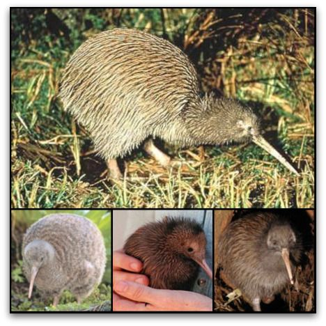 Kiwi are flightless birds endemic to New Zealand, in the genus Apteryx and family Apterygidae. At around the size of a domestic chicken, kiwi are by far the smallest living ratites and lay the largest egg in relation to their body size of any species of bird in the world.There are 5 recognised species, all of which are endangered.The kiwi is a national symbol of New Zealand, and the association is so strong that the term Kiwi is used all over the world as the colloquial name for New…