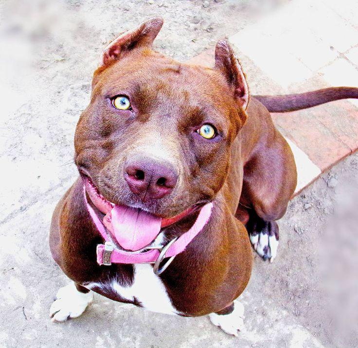 Xl pitbullbully 768 pinterest pitbullpuppy dogsofinstagram chocolate eyes pitbull storm dogsrule smile adorable pitbulllife pitbulllove pitbullnation cute voltagebd Image collections