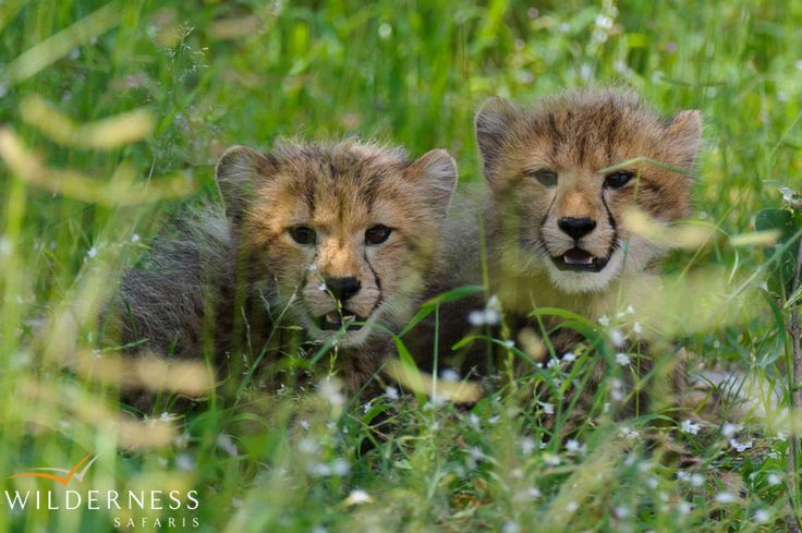 Owing to its location on the periphery of the Delta, Chitabe offers exciting year-round game viewing. #Botswana #safari #Africa #cheetah_cubs