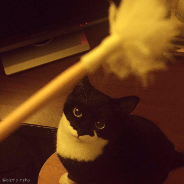 ギズモさん@写真集発売中 @gizmo_neko  1月7日 猫を飼っている人間にとって 耳掃除には危険が伴うのである