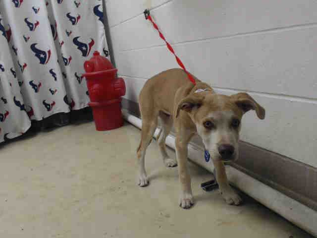 This DOG - ID#A467518 - URGENT - Harris County Animal Shelter in Houston,