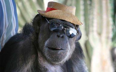 don't ask me Harry chimp hat sunglasses   Apes   Pinterest ...