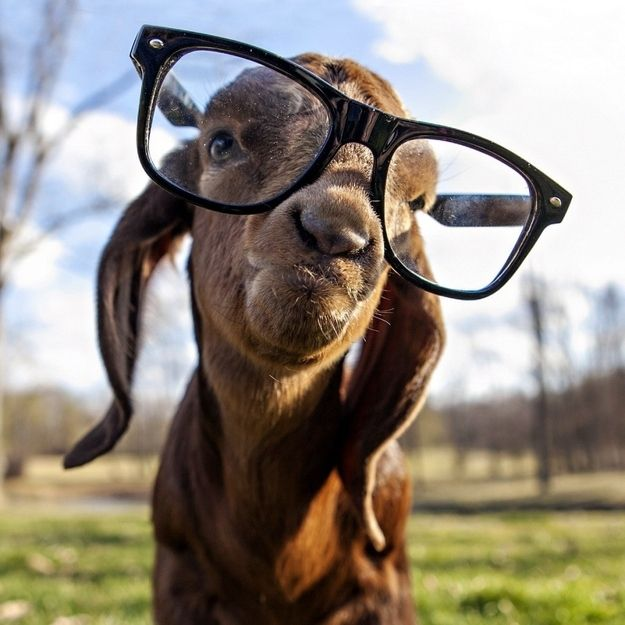 10 Reasons a Goat is the Best Gift- I would like one for my birthday please. But who needs a list when there's a million youtube videos to prove how cute they are?