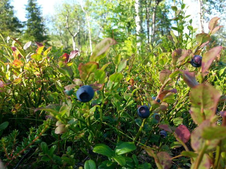 Mustikka, blueberry