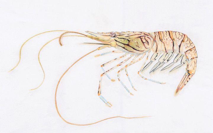 Palaemon_elegans (4)2. Palaemon elegans – Podemos encontrar facilmente este pequenino camarão em poças do infra e médio litoral (zona mais baixa e zona média da maré). As cores vibrantes destacam-se no corpo transparente.http://www.wilder.pt/divirta-se/cinco-especies-que-encontramos-na-zona-da-mare/