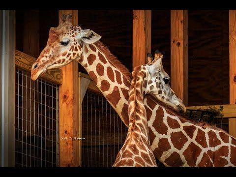 LIVE FEED: April The Giraffe - ANIMAL ADVENTURE PARK GIRAFFE CAM - LiveC...
