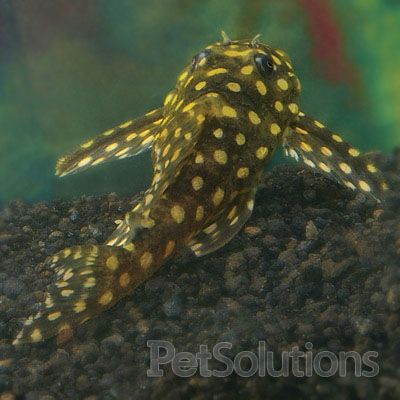 The Common (or Not So Common)Plecostomus