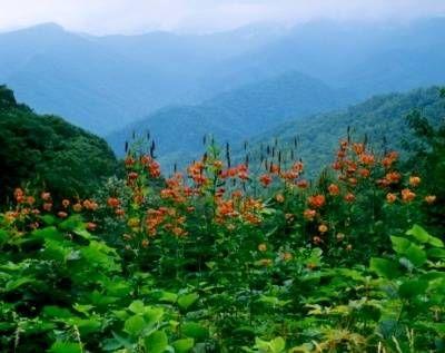 Turk's Cap Lilies GSMNP. #Smoky #Mountains #Hiking #Cades #Cove #National #Park #Smokies #Smokey #vacation