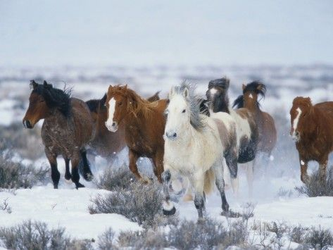 Wild Horses in Snow Photographic Print by Jeff Vanuga at AllPosters.com
