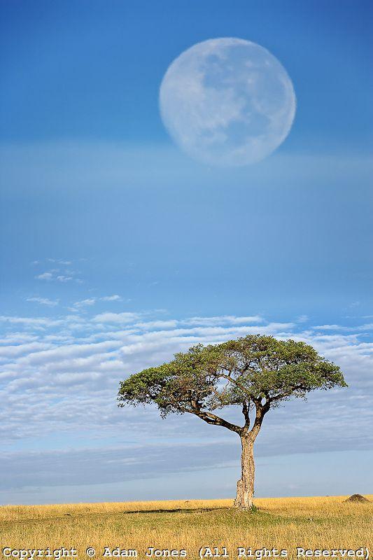 Umbrella Thorn Acacia and full moon, Masai Mara National Reserve, Kenya