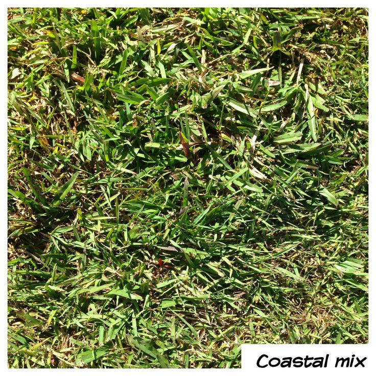 Our Own Coastal Turf's Coastal Mix - the perfect blend for backyard play. Softness and Strength. More time playing on it than mowing it