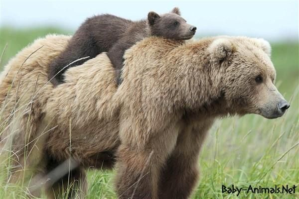 Baby bear and mother bear